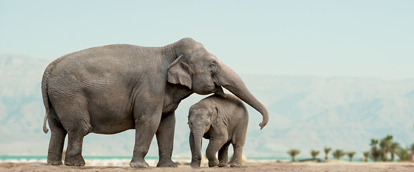 Mother elephant and her baby