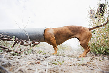 Curious dog is shown with its head inside a drain pipe.